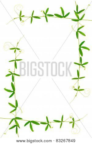 Frame Of Green Branches Passionflower With Tendrils Is Isolated On White Background, Closeup