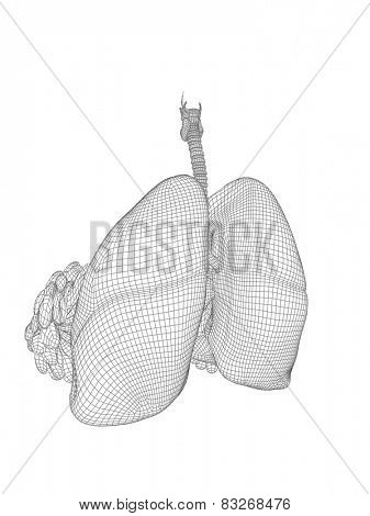 Concept or conceptual anatomical human woman 3D wireframe mesh respiratory system  with lungs and breasts isolated on white background