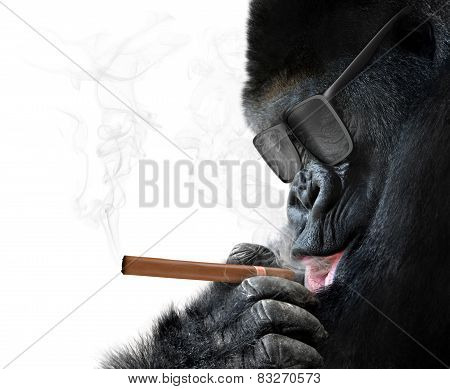 Badass gorilla with cool sunglasses smoking a cuban cigar like a boss
