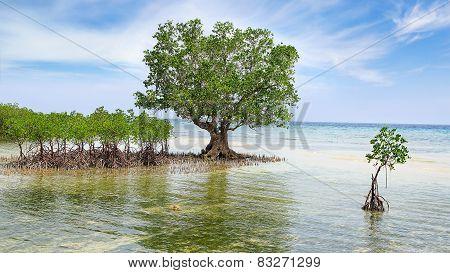 Mangrove Tree.  Siquijor Island, Philippines