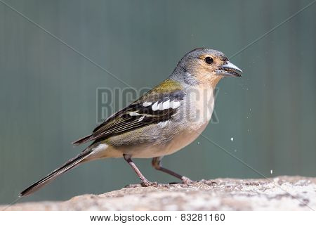 Closeup Of Yellow Finch Eating A Peanut