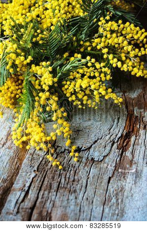 Spring Time, Yellow Mimosa Flowers