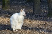 stock photo of wallabies  - Albino Bennett - JPG