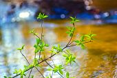 image of elm  - elm tree branch over water in spring with a beautiful background blur - JPG