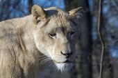 image of african lion  - White South African lion  - JPG