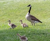 picture of baby goose  - A Canada Goose and her goslings on a spring day - JPG