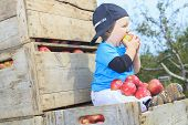 pic of apple orchard  - A Cute little boy in the garden and picking apple - JPG