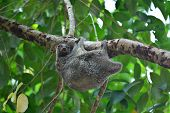 stock photo of nocturnal animal  - Flying Lemur  - JPG