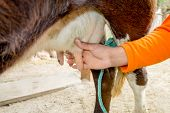 stock photo of teats  - closeup of hand milking a cow in a farm - JPG