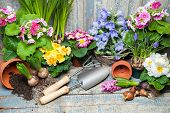 stock photo of primrose  - Gardening tools and flowers in the garden - JPG