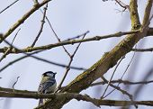 foto of great tit  - Great Tit spotted outdoors in National Botanic Gardens Dublin - JPG