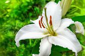 stock photo of stargazer-lilies  - white lily flower in a garden close up - JPG
