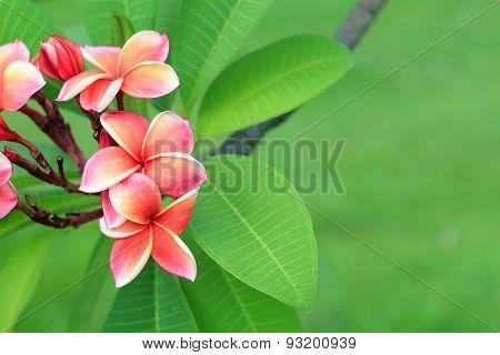 Exotic Frangipani Flower (plumeria)