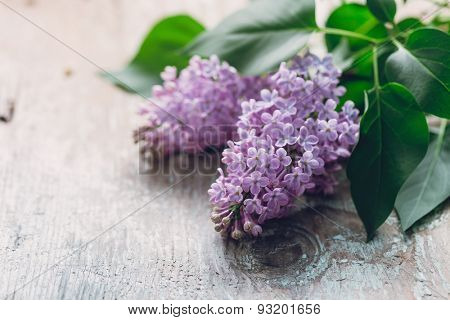 Blooming flower of purple lilac