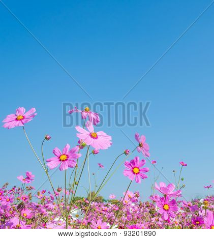Image Of Group Of Purple Cosmos Flower.