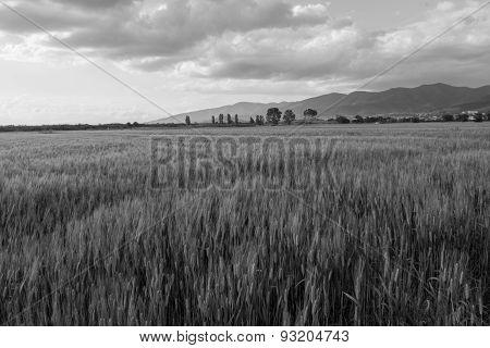 The Grain In The Val Di Chiana