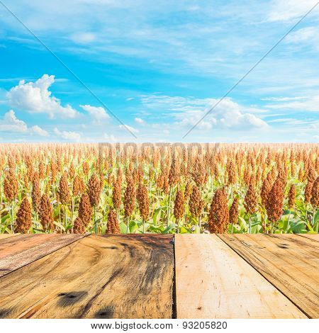 image of sorghum field and clear blue sky for background usage