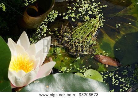 Water Frog
