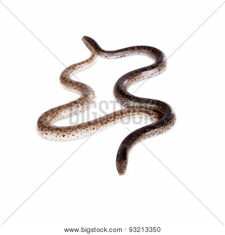 Two dwarf sand boas on white