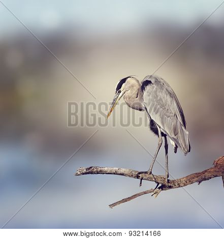 Great Blue Heron Perches On A Branch