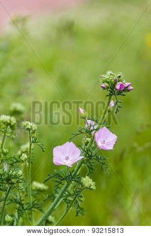 Pink Buds And Flowers Of A Musk Mallow Plant