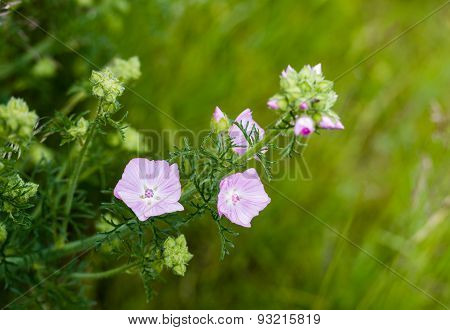 Pink Blooming Musk Mallow From Close