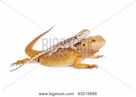 Red Bearded dragon with baby on her back