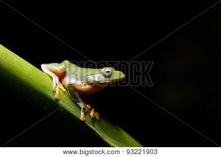 Taipei tree frog