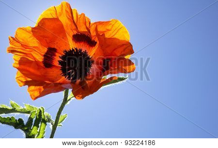 Colorful Orange Poppy Flower with Sunshine and Blue Skies