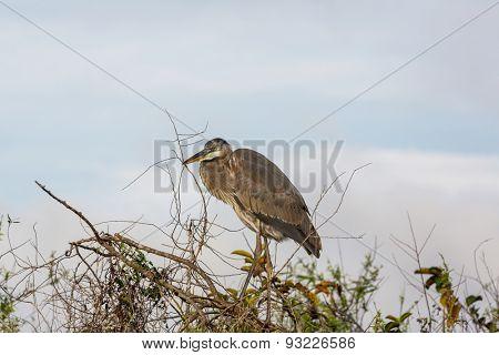 great blue heron posing in florida wetland