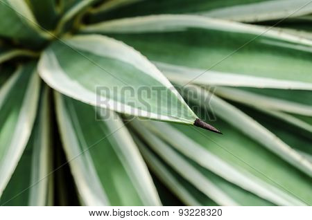 Agave thorn tree