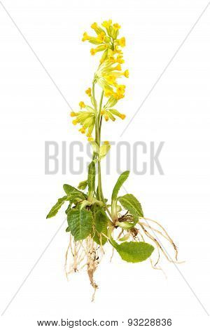 Cowslips With Roots