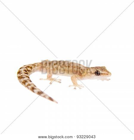 The marbled leaf-toed gecko on white