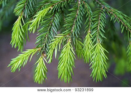 Young Shoots Of Spruce Branches