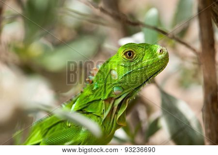 Headshot Of A Baby Green Iguana