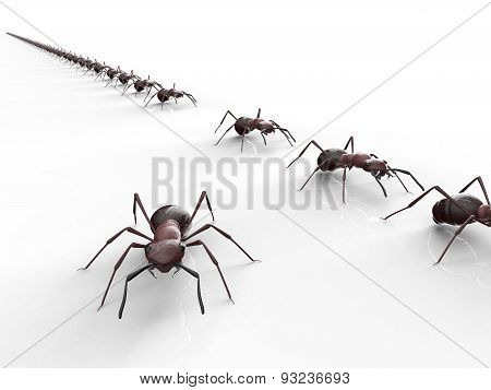 Black Ants Isolated On A White Background