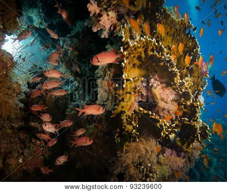 Tropical Anthias fish with net fire corals and shark on Red Sea reef underwater