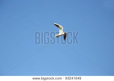 Seagull Flying Blue Sky