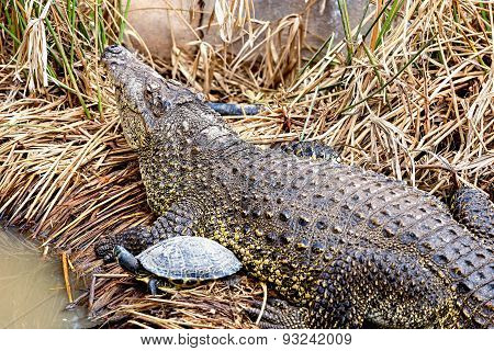 Crocodile With Turtle On Reed