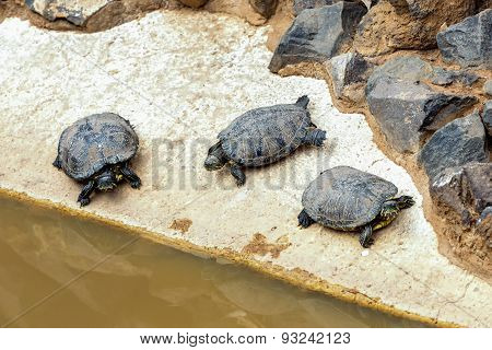 Turtles Or Tortoises On Stone Shore