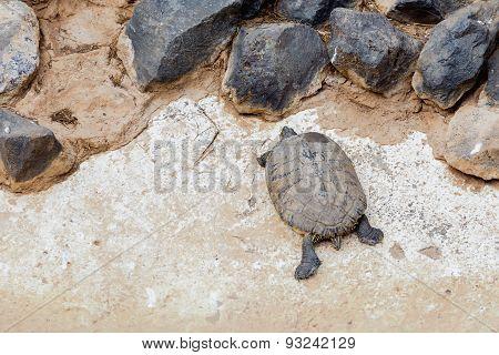 Turtle Or Tortoise On Stone Shore