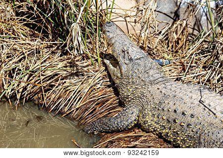 Crocodile On Reed