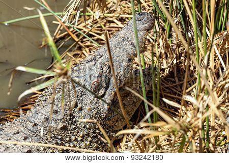 Head Of Crocodile On Reed