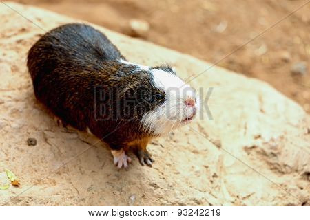 Guinea Pig On Stone