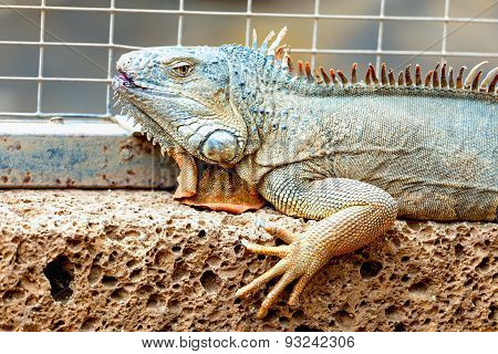 Iguana Or Lizard On Stone