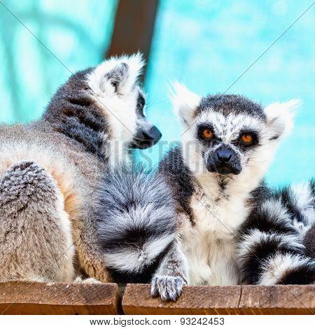 Lemurs Family
