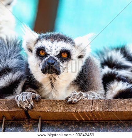 Angry Lemur Closeup