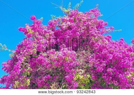 Bougainvillea against a blue sky