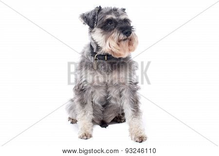 Portrait Of Miniature Grey Schnauzer Terrier