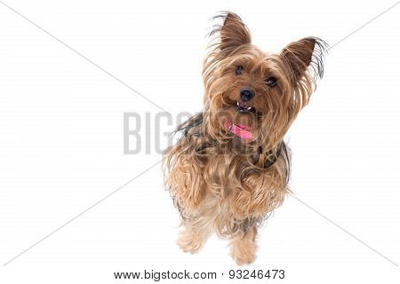 Yorkshire Terrier Standing On Hind Legs